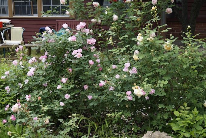 Roses 2013 Ohio