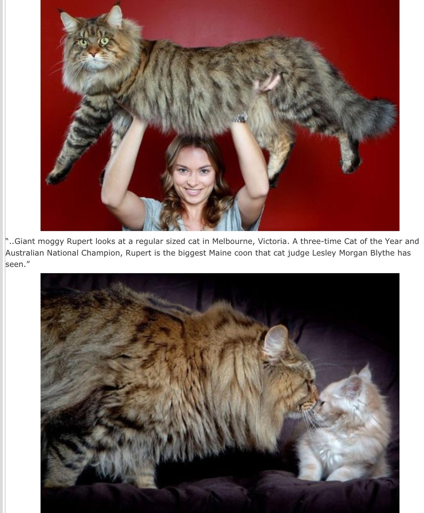 huge-cat